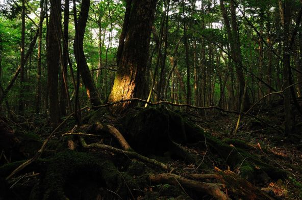 1280px-Aokigahara_forest_01